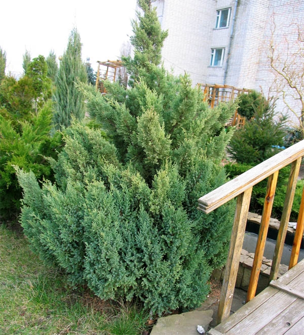 Можжевельник китайский 'Blue Alps' Ялівець китайський 'Blue Alps'<br>Juniperus chinensis 'Blue Alps'