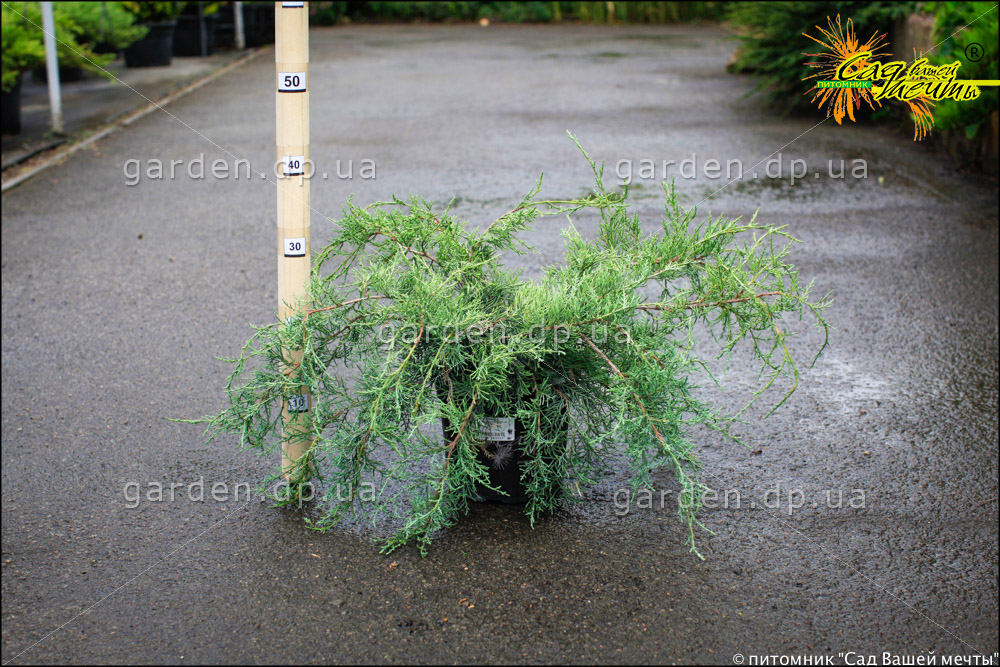 Можжевельник виргинский 'Blue Cloud' Ялівець віргінський 'Blue Cloud'<br>Juniperus virginiana 'Blue Cloud'
