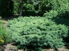 juniperus_virg_tripartita