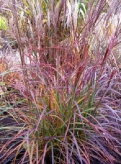 miscanthus_purple_fall_1