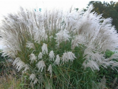 miscanthus_sinensis_grosse_fontane-2