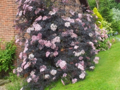 sambucus_black_lace