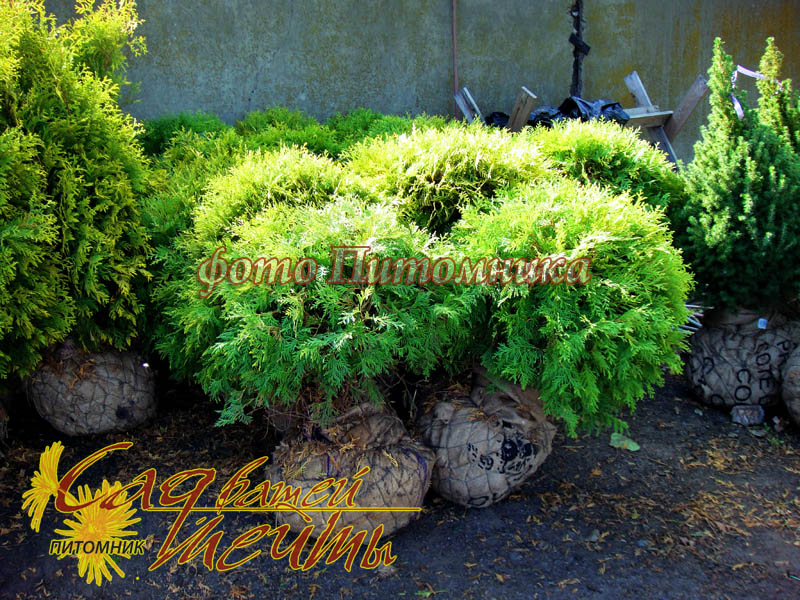 Туя западная 'Little Champion' Туя західна 'Little Champion'<br>Thuja occidentalis 'Little Champion'