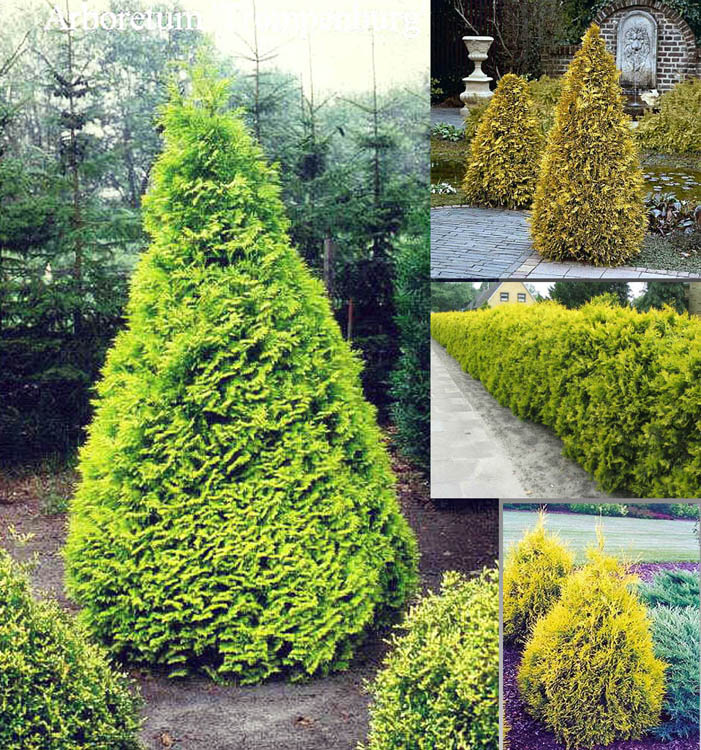 Туя западная 'Sunkist' Туя західна 'Sunkist'<br>Thuja occidentalis 'Sunkist'