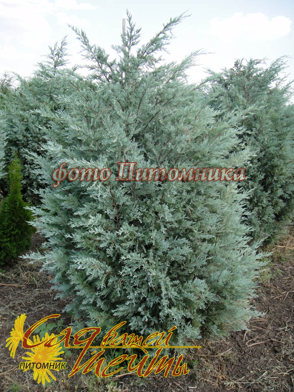 Можжевельник скальный 'Moonglow' Ялівець скельний 'Moonglow'<br>Juniperus scopulorum 'Moonglow'