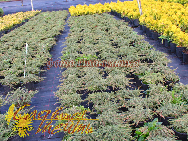 Можжевельник обыкновенный 'Green Carpet' Ялівець звичайний 'Green Carpet'<br>Juniperus communis 'Green Carpet'