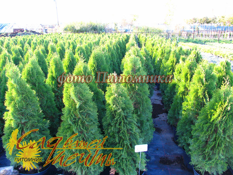 Туя западная 'Smaragd' Extra Туя західна 'Smaragd'<br>Thuja occidentalis 'Smaragd'