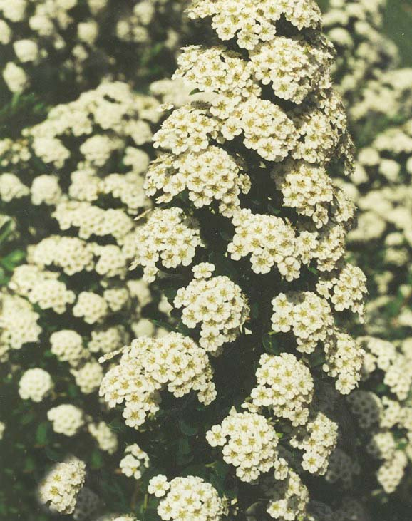 Спирея ниппонская 'White Carpet' Спірея ніппонська 'White Carpet'<br>Spiraea nipponica 'White Carpet'