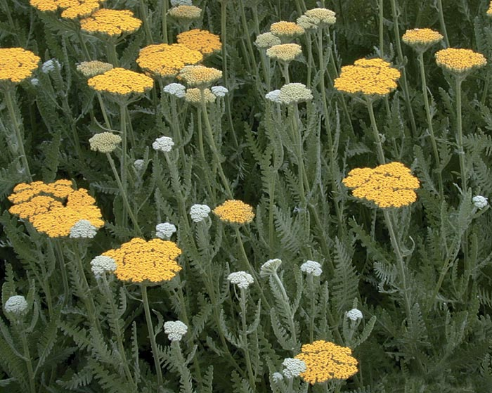 Тысячелистник таволговый 'Coronation Gold' Деревій таволговий 'Coronation Gold'<br>Achillea filipendulina 'Coronation Gold'