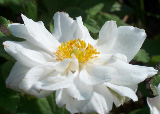 Анемона японская 'Whirlwind' Анемона японська 'Whirlwind'<br>Anemone japonica 'Whirlwind'