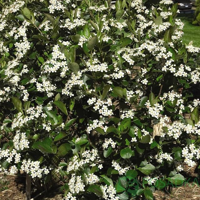 Арония сливолистная 'Viking' Аронія сливолиста 'Viking'<br>Aronia prunifolia 'Viking'
