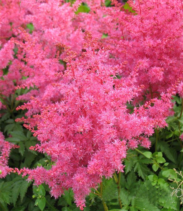 Астильба японская 'Jump and Jive ®' Астільба японьска 'Jump and Jive'<br>Astilbe japonica 'Jump and Jive'