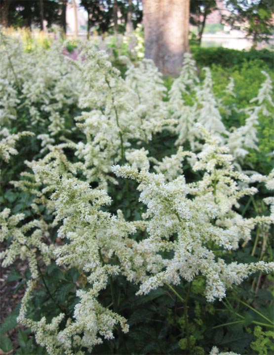 Астильба 'Vision in White' Астільба Арендса 'Vision in White ®'<br>Astilbe arendsii 'Vision in White ®'