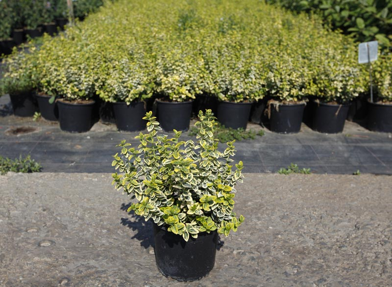 Бересклет форчуна 'Emerald'n Gold' Euonymus fortunei 'Emerald'n Gold'