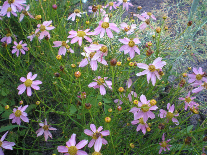 Кореопсис розовый 'American Dream' Кореопсіс рожевий 'American Dream'<br>Coreopsis rosea 'American Dream'