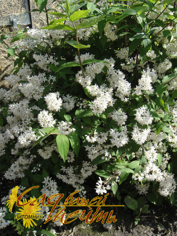 Дейция шершавая 'Plena' Дейція шорстка 'Plena'<br>Deutzia scabra 'Plena'