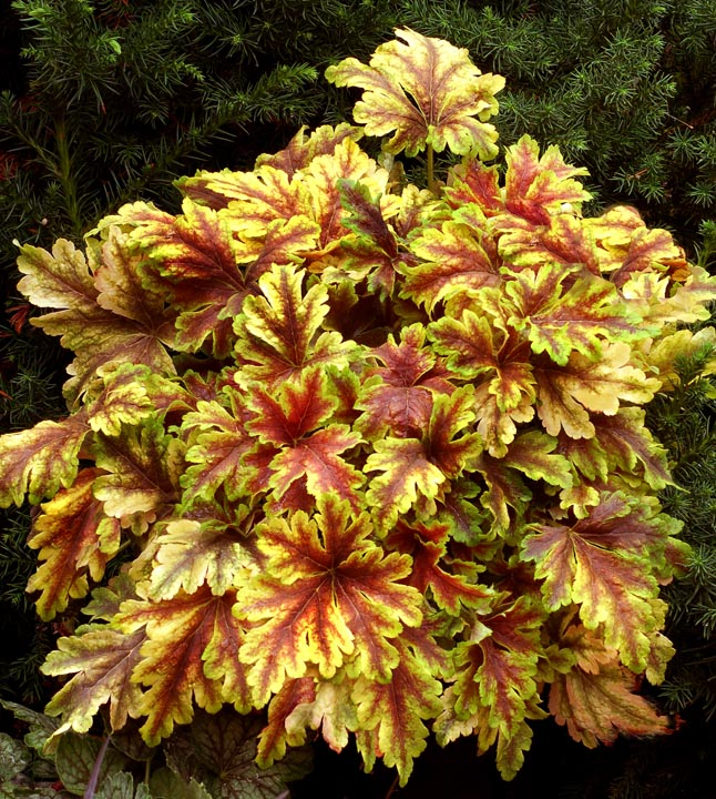 Гейхерелла 'Golden Zebra' Гейхерела 'Golden Zebra'<br>Heucherella 'Golden Zebra'