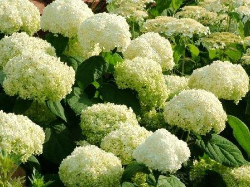 Гортензия древовидная 'Hills of Snow' Гортензія деревовидна 'Hills of Snow'<br>Hydrangea arborescens 'Hills of Snow'