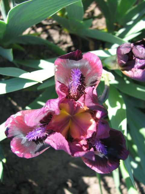 Ирис карликовый 'Pumpin' Iron' Ірис карликовий 'Pumpin' Iron'<br>Iris pumila 'Pumpin' Iron'