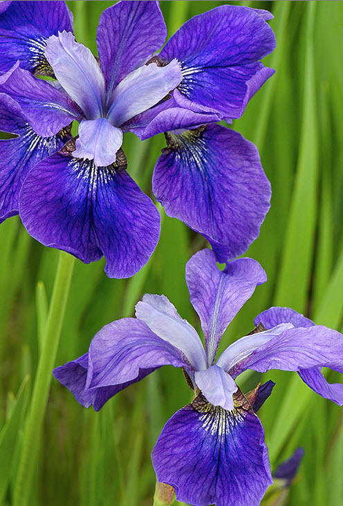 Ирис сибирский 'Blue Moons' Ірис сибірський 'Blue Moons'<br>Iris sibirica 'Blue Moons'