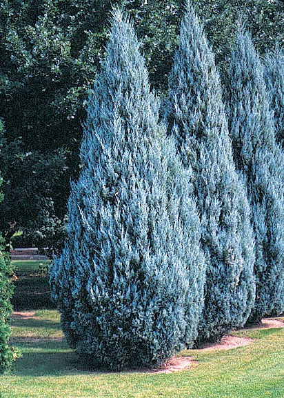Можжевельник скальный 'Moffat Blue' Ялівець скельний 'Moffat Blue'<br>Juniperus scopulorum 'Moffat Blue'