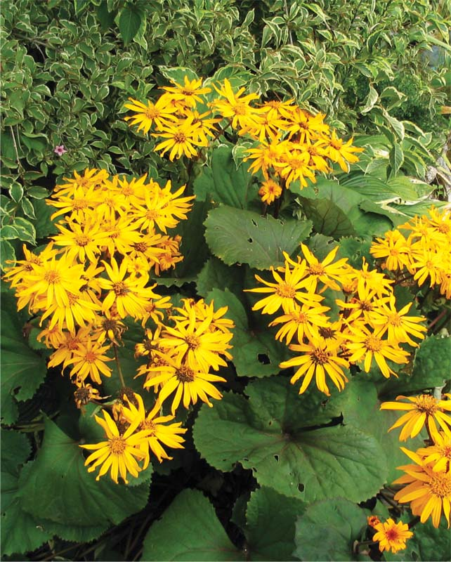 Бузульник зубчатый 'Othello' Бузульник зубчастий 'Othello'<br>Ligularia dentata 'Othello'