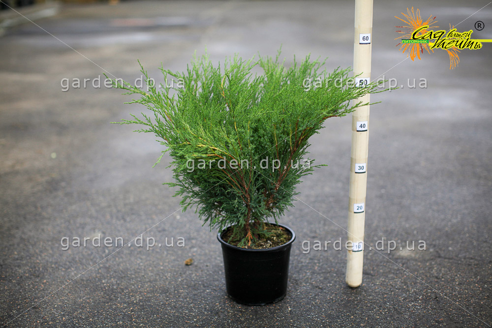 Можжевельник казацкий 'Blue Sparkle' Ялівець козацький 'Blue Sparkle'<br>Juniperus sabina 'Blue Sparkle'
