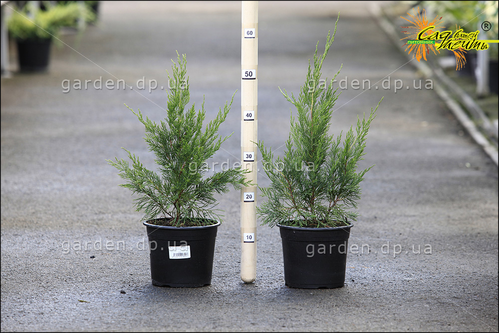 Можжевельник китайский 'Spearmint' Ялівець китайський 'Spearmint'<br>Juniperus chinensis 'Spearmint'