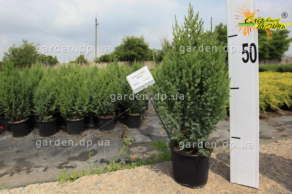 Можжевельник китайский 'Stricta' Ялівець китайський 'Stricta'<br>Juniperus chinensis 'Stricta'