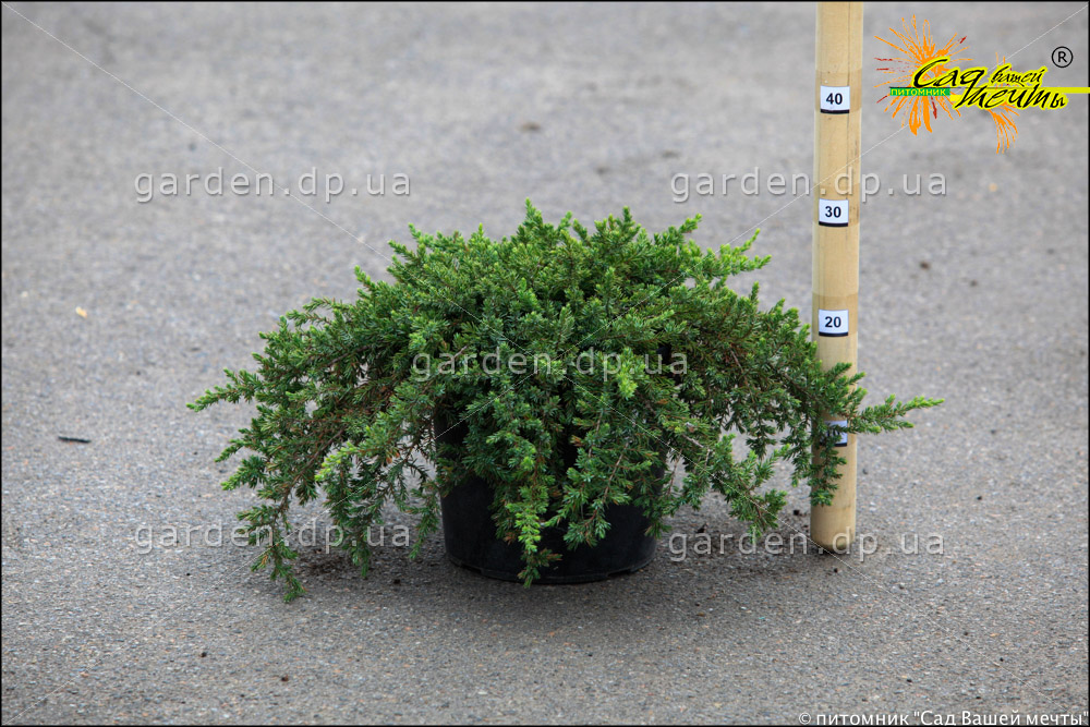 Можжевельник обыкновенный 'Greenmantle' Ялівець звичайний 'Greenmantle'<br>Juniperus communis 'Greenmantle'