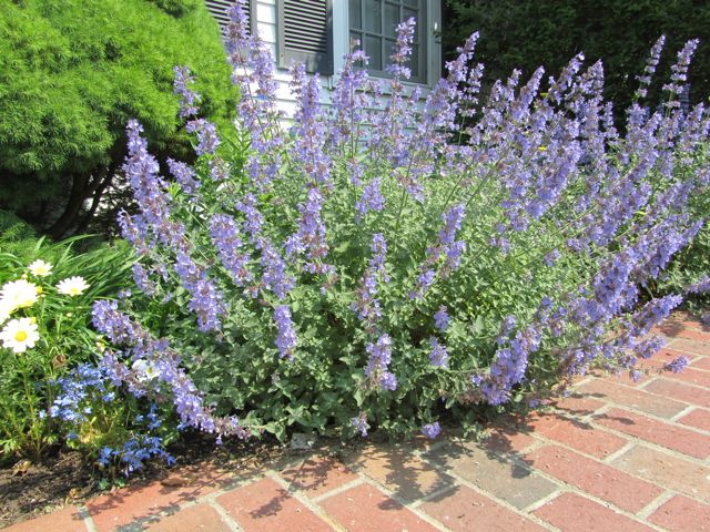 Котовник Фаассена 'Walker's Low' Котовник Фассена 'Walker's Low'<br>Nepeta faassenii 'Walker's Low'