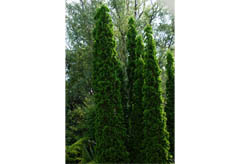Thuja_Degroot_Spire