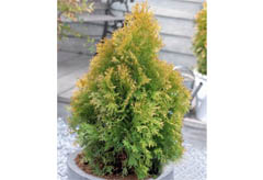 Thuja_occidentalis_Golden_Anne