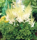 astilbe_milk_and_honey