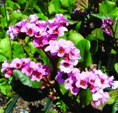 bergenia_cordifolia_magic_giant