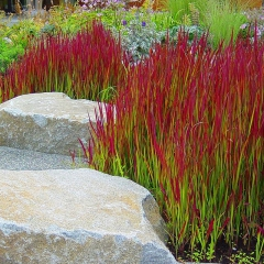 imperata_cylindrica_red_baron