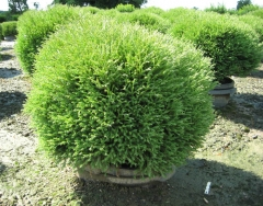 thuja mr bowling ball_