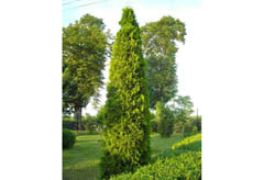 thuja-occidentalis-smaragd-variergata