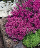 thymus-praecox-red-carpet