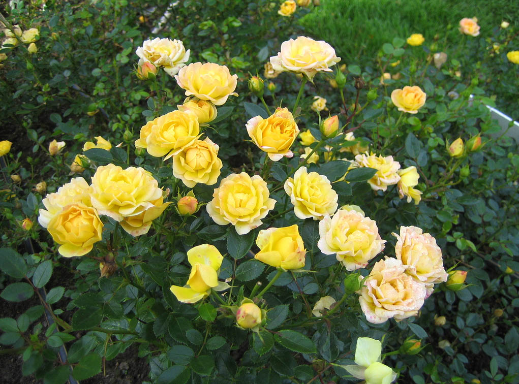 Роза бордюрная 'Yellow Fairy' Троянда бордюрна 'Yellow Fairy'<br>Rosa 'Yellow Fairy'