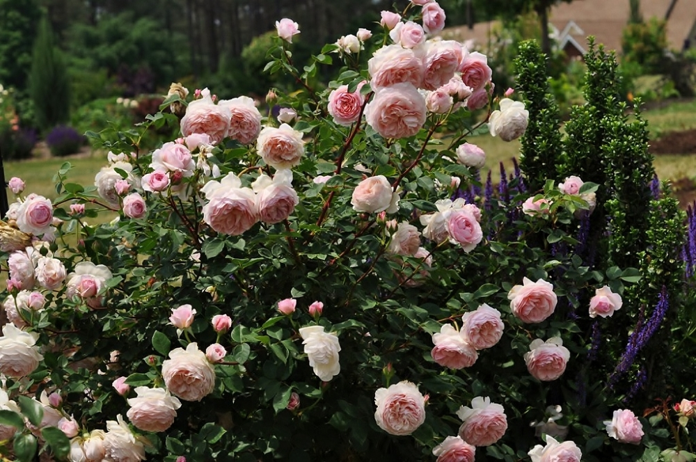 Роза английская 'William Morris' Троянда англійська 'William Morris'<br>Rose 'William Morris'
