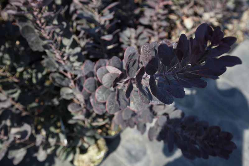 Скумпия кожевенная 'Royal Purple' Скумпія шкіряста 'Royal Purple'<br>Cotinus coggygria 'Royal Purple'