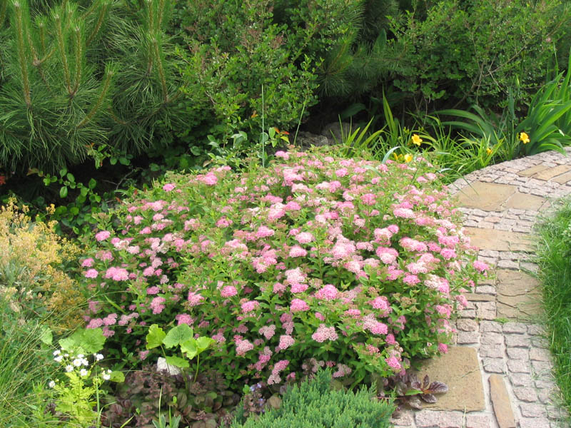 Спирея японская 'Little Princess' Спірея японська 'Little Princess'<br>Spiraea japonica 'Little Princess'