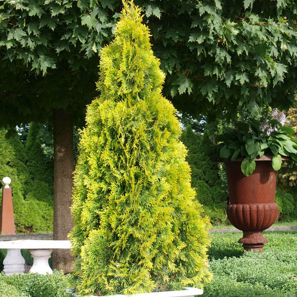 Туя западная 'Golden Smaragd' ® Туя західна 'Golden Smaragd '®<br>Thuja occidentalis 'Golden Smaragd' ®