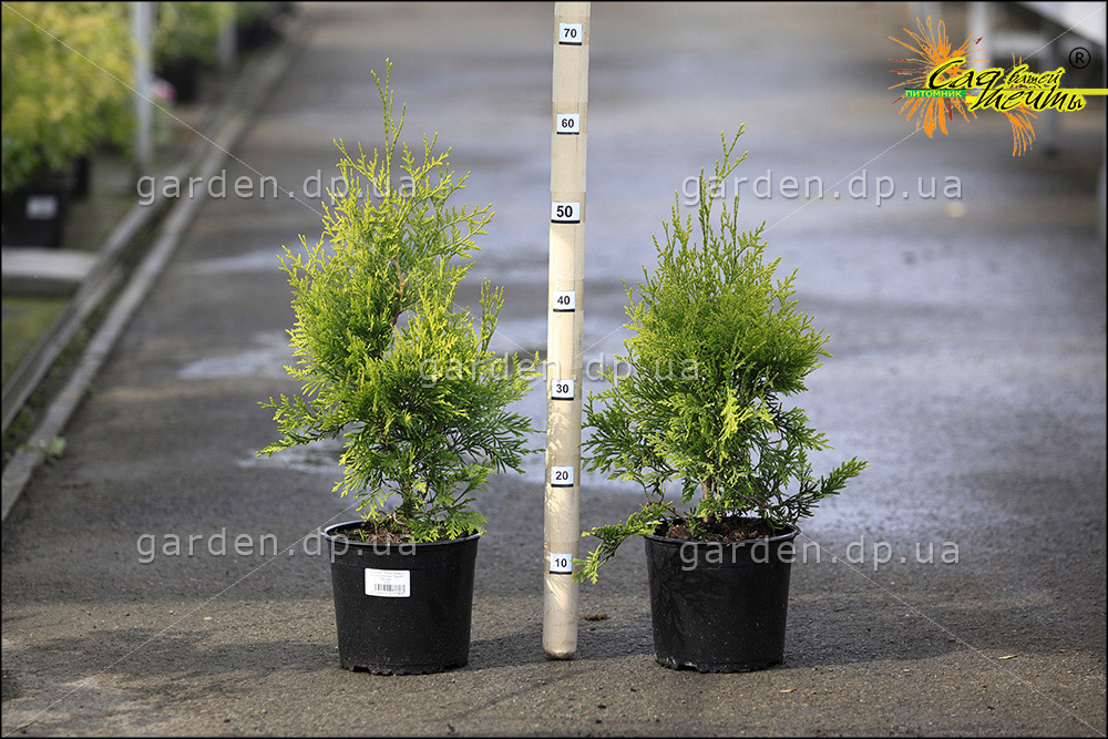 Туя западная 'Golden Brabant' ® Туя західна 'Golden Brabant'<br>Thuja occidentalis 'Golden Brabant'