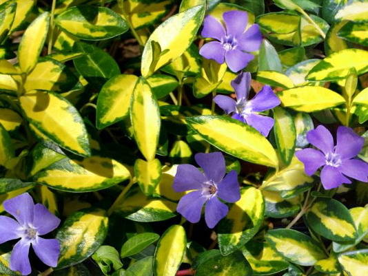 Барвинок малый 'Illumination' Барвінок малий 'Illumination'<br>Vinca minor 'Illumination'